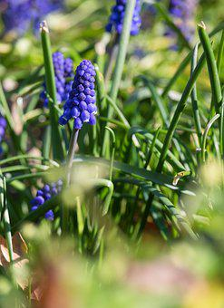 Muscari, Flower, Blossom, Bloom, Blue, Bell, Plant