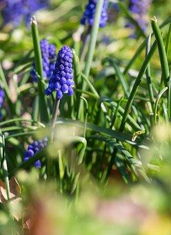 Muscari, Flower, Blossom, Bloom, Blue