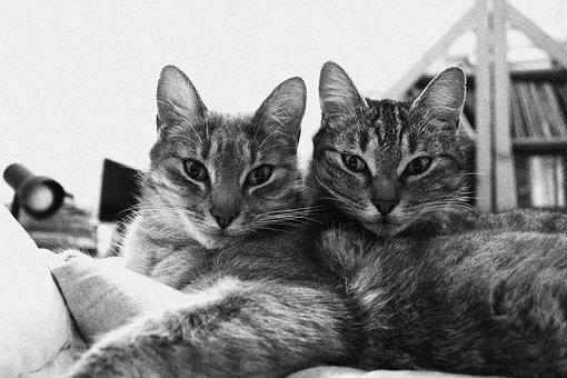 Cats, Black And White, Twins, Animal, Pet, Relax