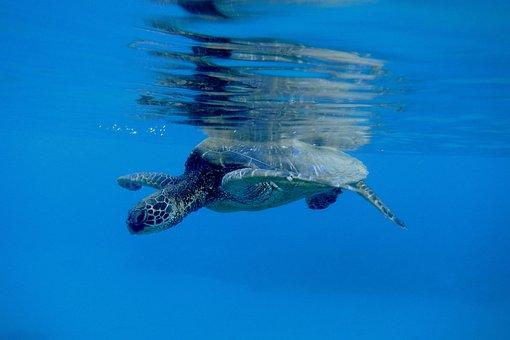 Underwater, Snorkel, Turtle, Snorkeling, Coral, Diving
