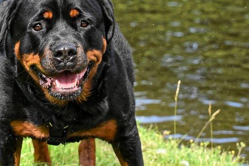 Rottweiler, Purebred Dog, Animal, Dog, Peaceful, Pet