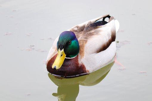 Duck, Drake, Mallard, Male, Water Bird, Water, Nature