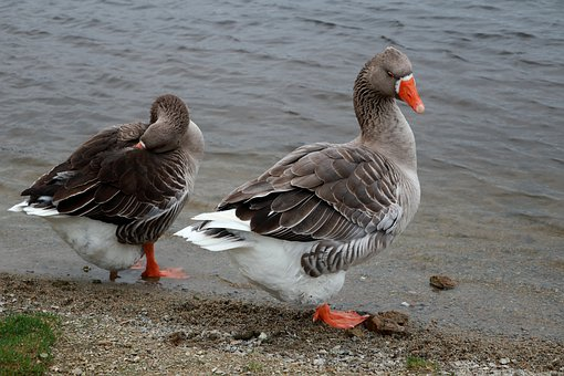 Animals, Geese, Ducks, Birds, Nature