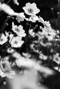 Black And White, Anemone, White, Flowers, Fine Art