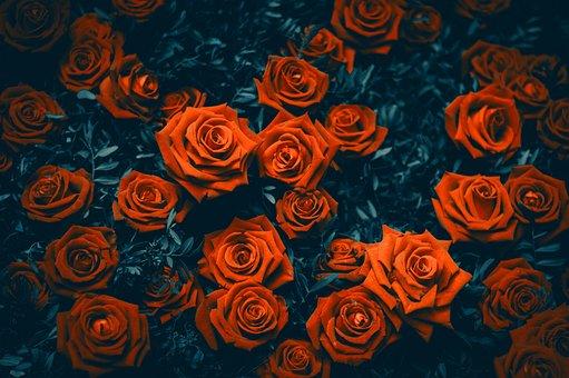 Flowers, Red, Rose, Love, Garden, Bloom, Roses, Blossom