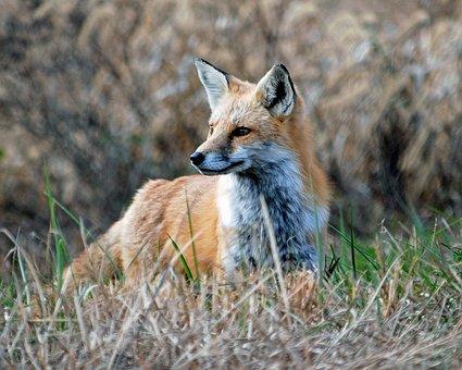 Red, Fox, Animal, Wildlife, Omnivores, Nature, Mammal