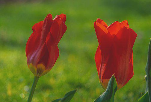 Tulips, Flowers, Red, Garden, Rush, Red Emperor