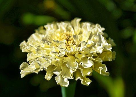 Flower, Marigold, Yellow, Green, Foliage