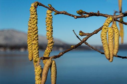 Hazelnut, Hazel, Spring, Winter, Inflorescences, Bush
