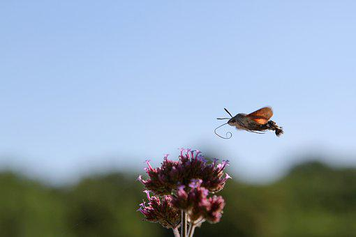 Hummingbird Hawk Moth, Insect, Flower, Proboscis