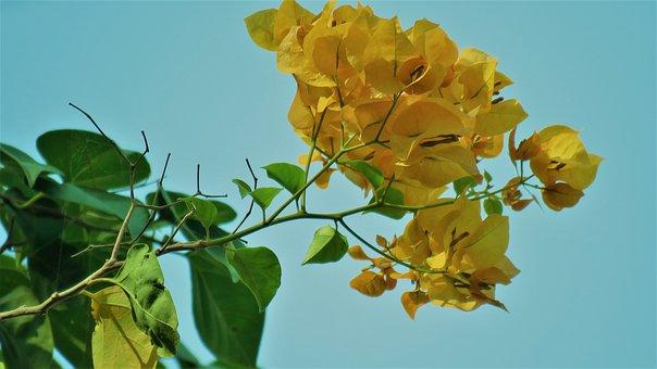 Bougainvillea, Flower, Blossom, Leaf
