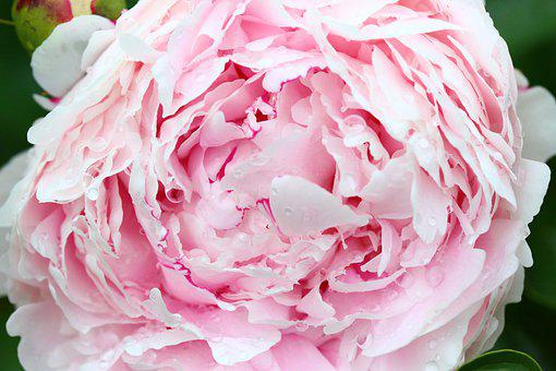 Pink, Peony, Bloom, Flower, Macro