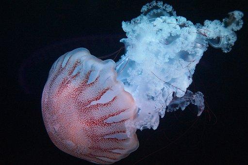 Jellyfish, Marine, Creature, Aquarium, Swim, Hat