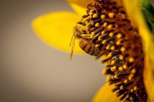 Honey Bee, Bee, Sunflower, Nature, Pollen, Nectar