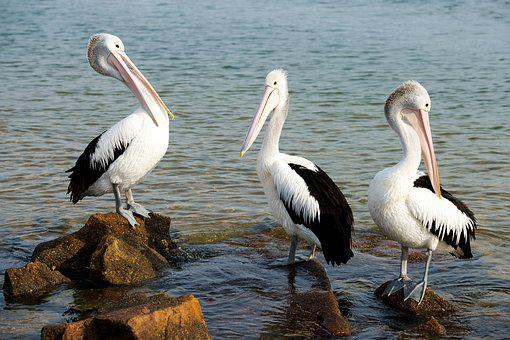 Pelicans, Birds, Wildlife, Nature, Sea, Ocean