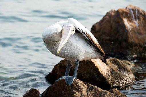 Pelican, Funny, Pose, Rock, Perching, Bird, Australia