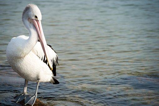 Pelican, Bird, Nature, Australia, Ocean, Sea, Wildlife