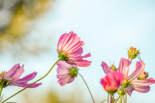 Cosmea, Flower, Blossom, Bloom, Tender, Pink