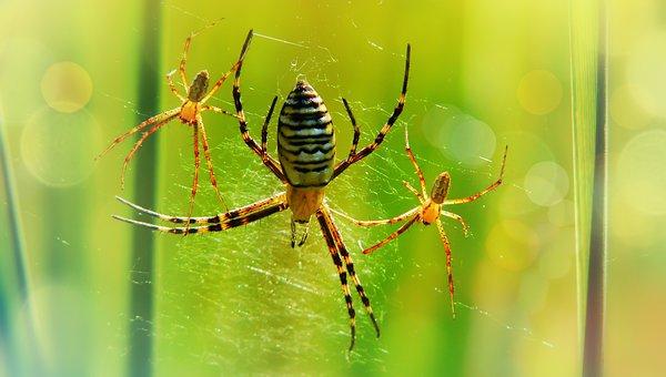 Tygrzyk Paskowany, Copulation, Spiders, Female, Males