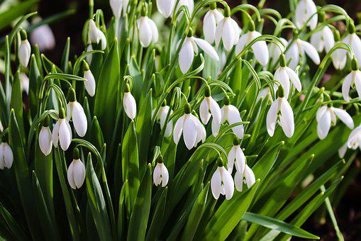 Snowdrop, Spring, Signs Of Spring, Early Bloomer, White