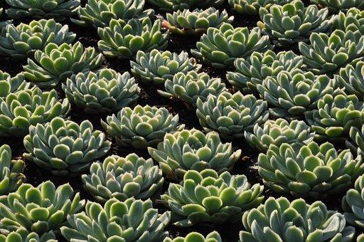 Plants, Houseleek, Sempervivum, Succulent, Garden