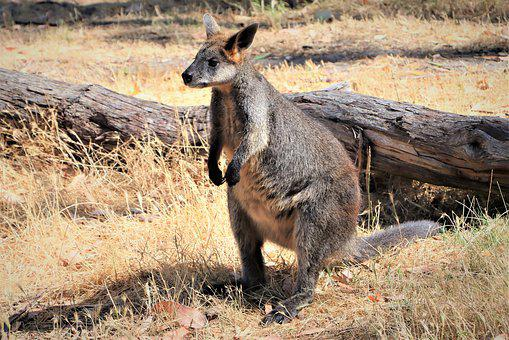 Swamp Wallaby, Standing, Thick, Tail