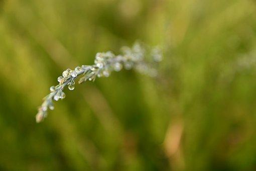 Thaw, Drop, Thuja, Evergreen, Green, Water, Dribble