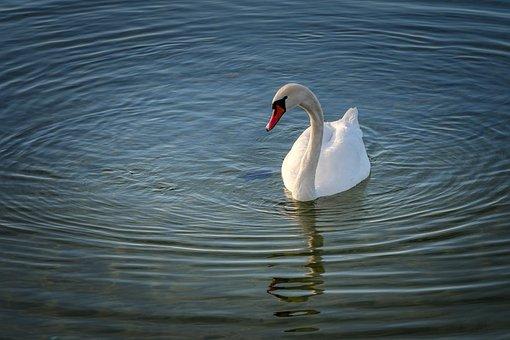 Swan, Gracefully, Bird, Feather, Water Bird, Nature