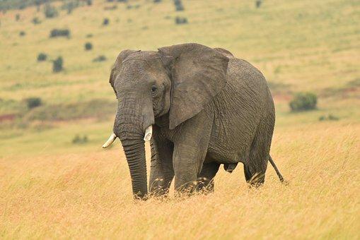 Elephant, Wildlife, Elephants, Animal