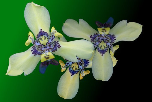 Beautiful Flowers, Yellow With Blue