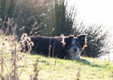 Border Collie, Tri Colour Collie, Back Lit, Dog, Collie