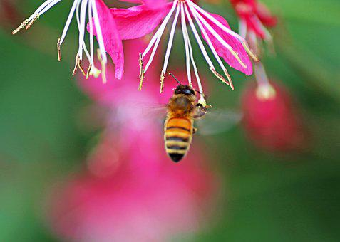 Bee, Insect, Flying, Flower, Pollen