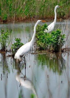 Herons, White, Water, Bird, Wading