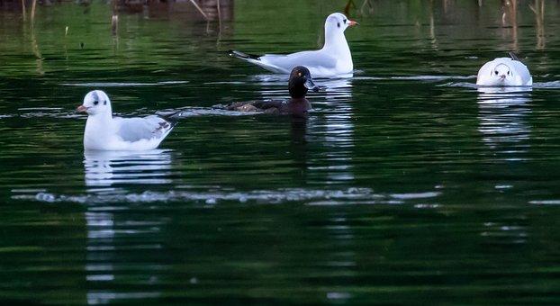 Black Headed Gull, Winter Plumage, Gull, Seagull