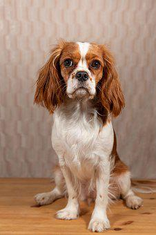 Dog, Animal, Pet, Cavalier, Spaniel, King, Blenheim