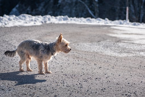 Dog, Yorkshire Terrier, Small, Out