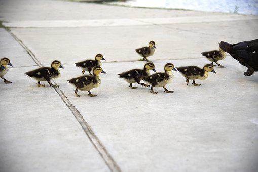Ducks, Ducklings, Chick, Cute, Animal