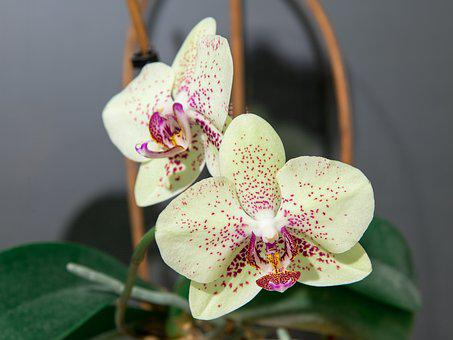 Phalaenopsis, Orchid, Flower, Flora