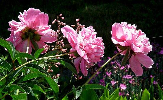 Peonies, Flowers, Pink, Spring, Nature