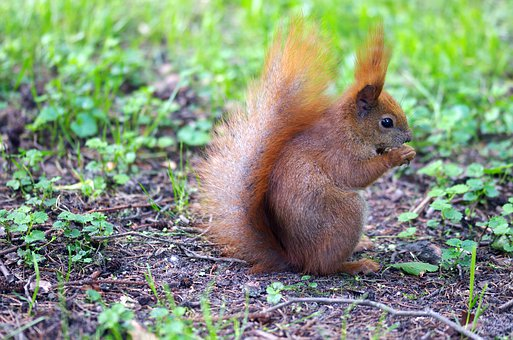 Squirrel, Pet, Fur, Red, Line, Thick