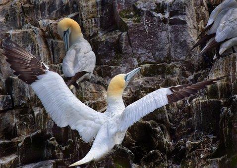 Gannet, Wings, Bird, Nature, Wildlife, White, Beak, Fly