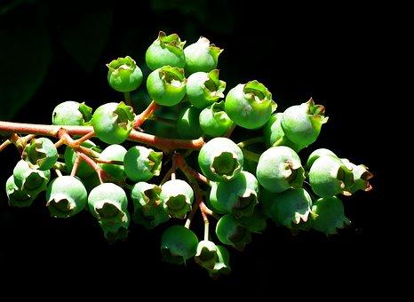 Bilberry American, Fruit, Green, Nature, Closeup