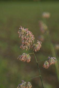 Grasses, Halme, Meadow, Green, Nature