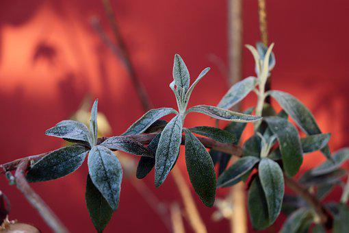 Sage, Herbs, Morning, Cool, Hoarfrost, Green, Close Up