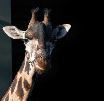 Rothschild Giraffe, Giraffe, Long Neck, Horns