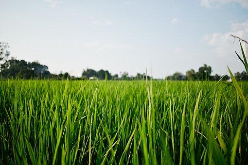 Rice, Kerala, Alappuzha, Farm