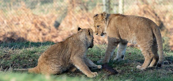 Lion Cub, Baby Lion, Young Lion, Captive