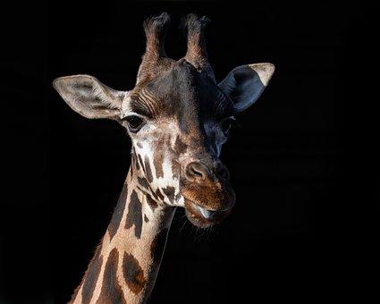 Rothschild Giraffe, Giraffe, Long Neck