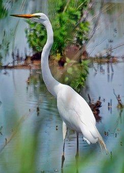 Heron, White, Water, Bird, Wading, Marsh