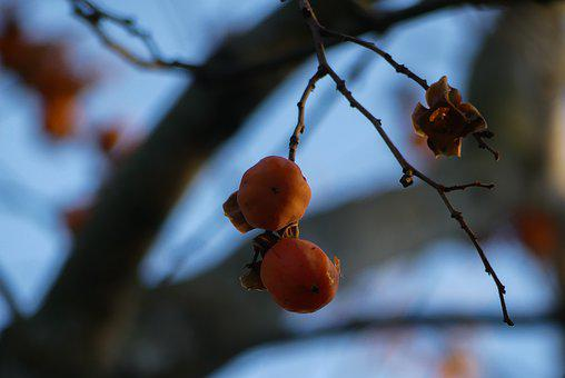 Diospiro, Fruit, Persimmons, Fruits, Plants, Nature